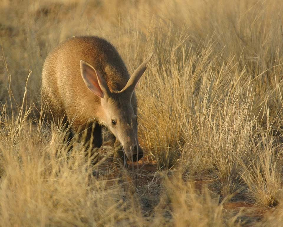 The Elusive Aardvark Roaming in South Africa
