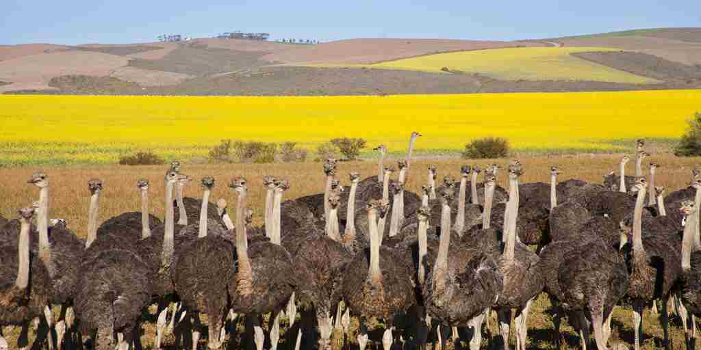 Group of ostriches along the Garden Route with yellow rapeseed fields in background, South Africa - shutterstock_147257189.jpg