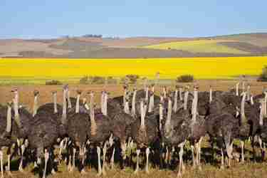Group of ostriches along the Garden Route with yellow rapeseed fields in background, South Africa   shutterstock 147257189