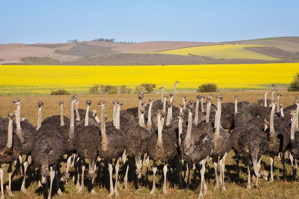 Ostrich Flock in South Africa