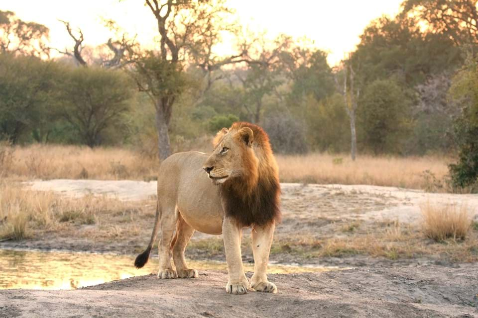 Transvaal Lion Roaming in South Africa