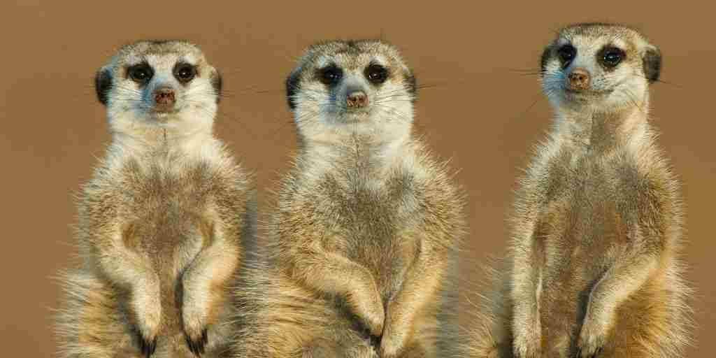 three meerkat pic.JPG