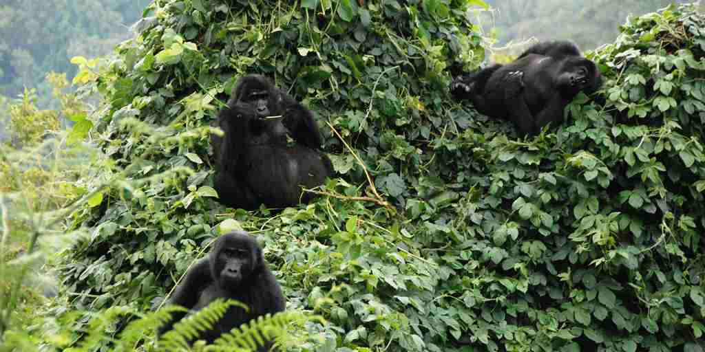 mountain gorillas.jpg