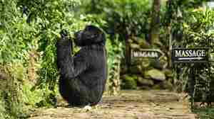 Bwindi_gorilla at lodge.jpg
