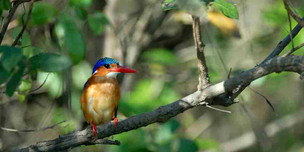 PL-Selous-kingfisher-branch.jpg