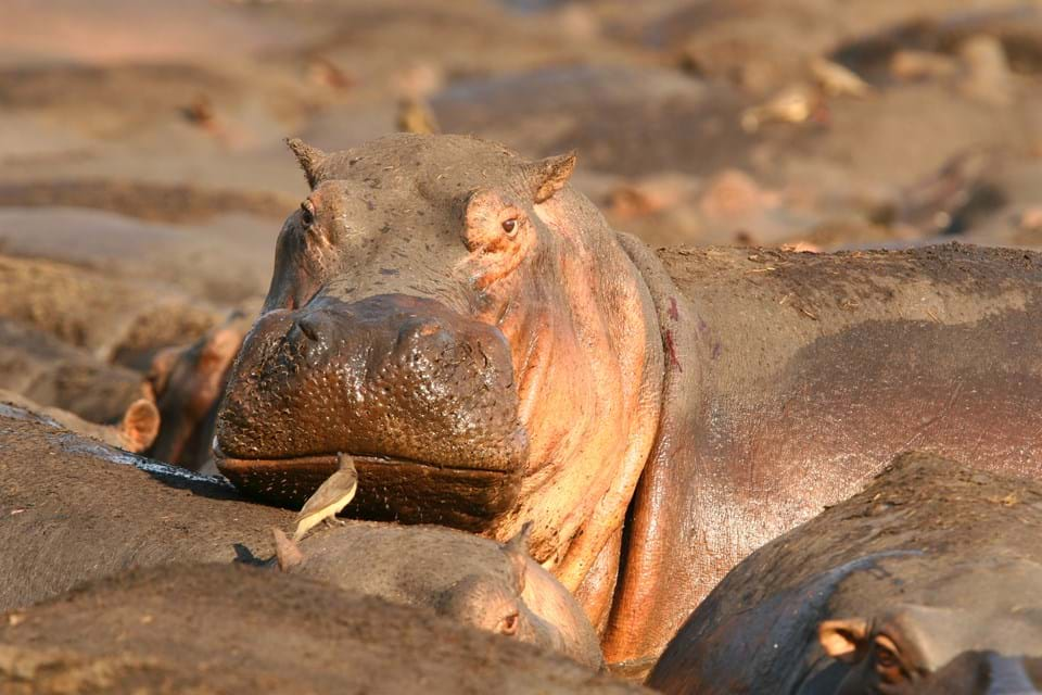 Hippo bathing in Botswana