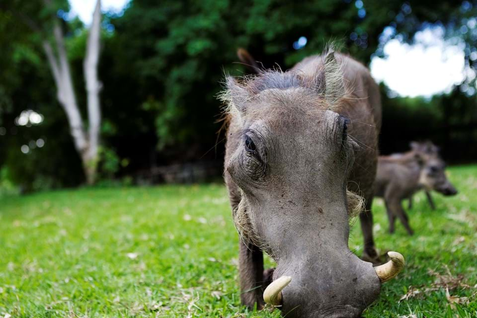Warthog Grazing on Grass