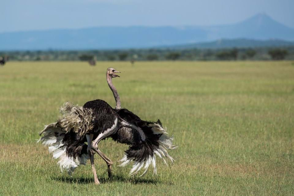 Walking Ostrich in Africa