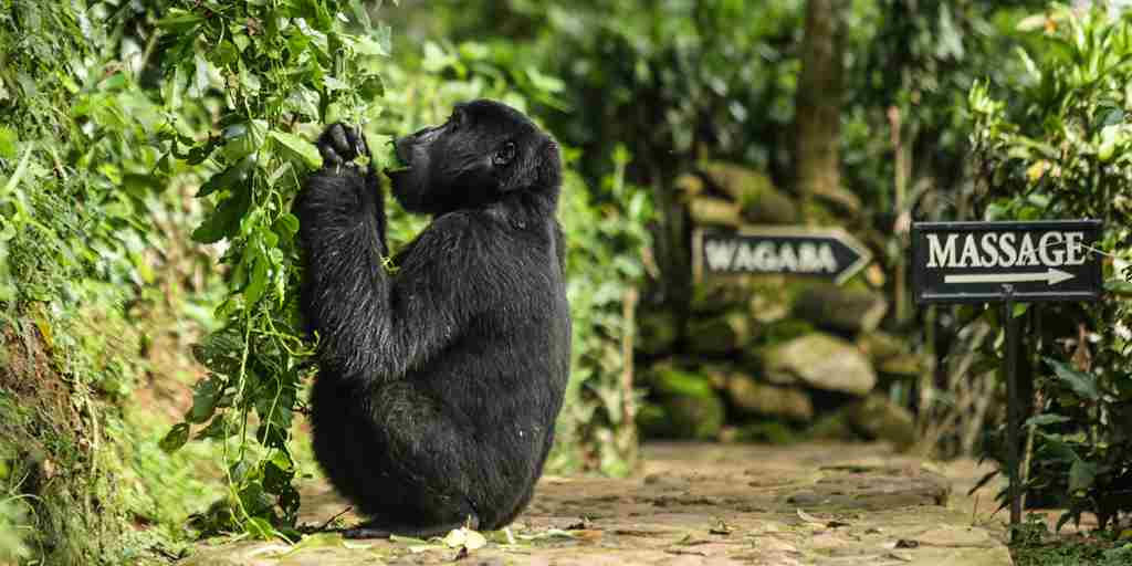 Bwindi gorilla at lodge