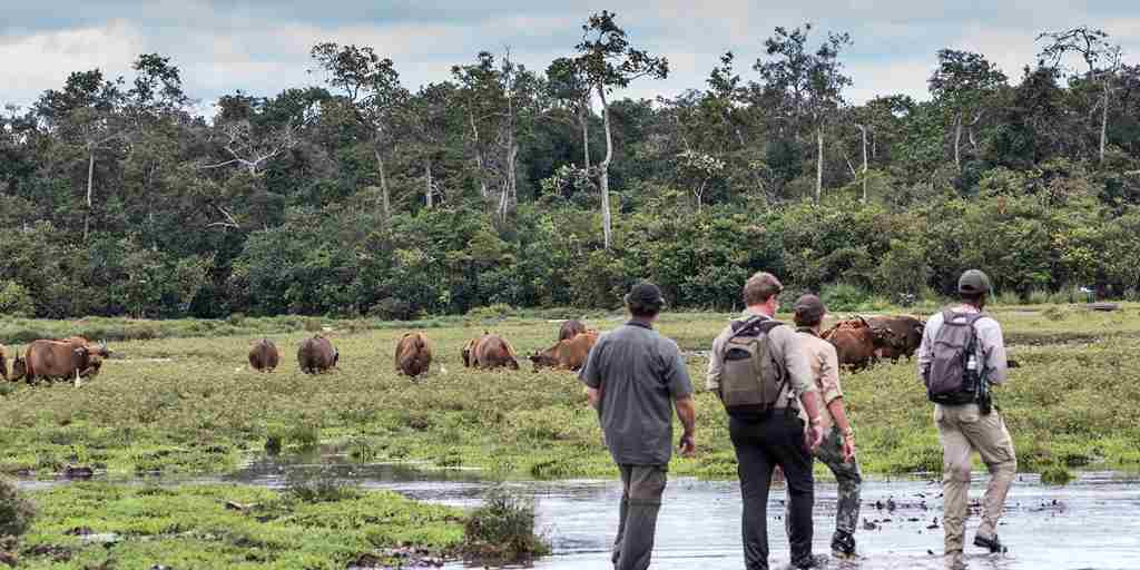 Forest-buffalos-at-Lango-Bai.jpg