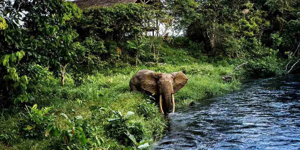 Forest-elephant-on-the-Lekoli-River.jpg