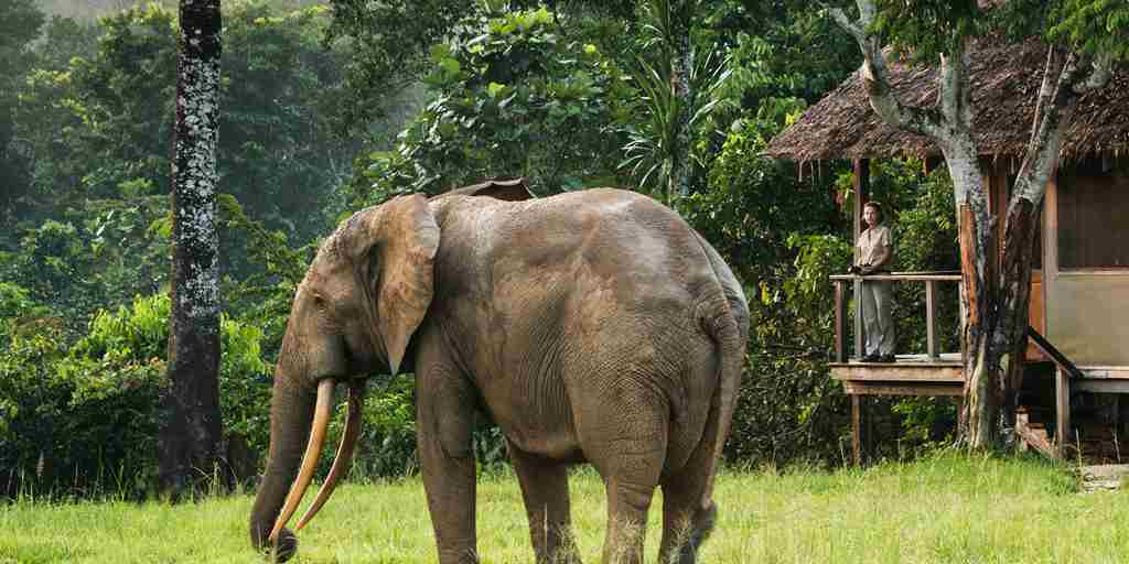 Mboko-Camp-forest-elephant.jpg