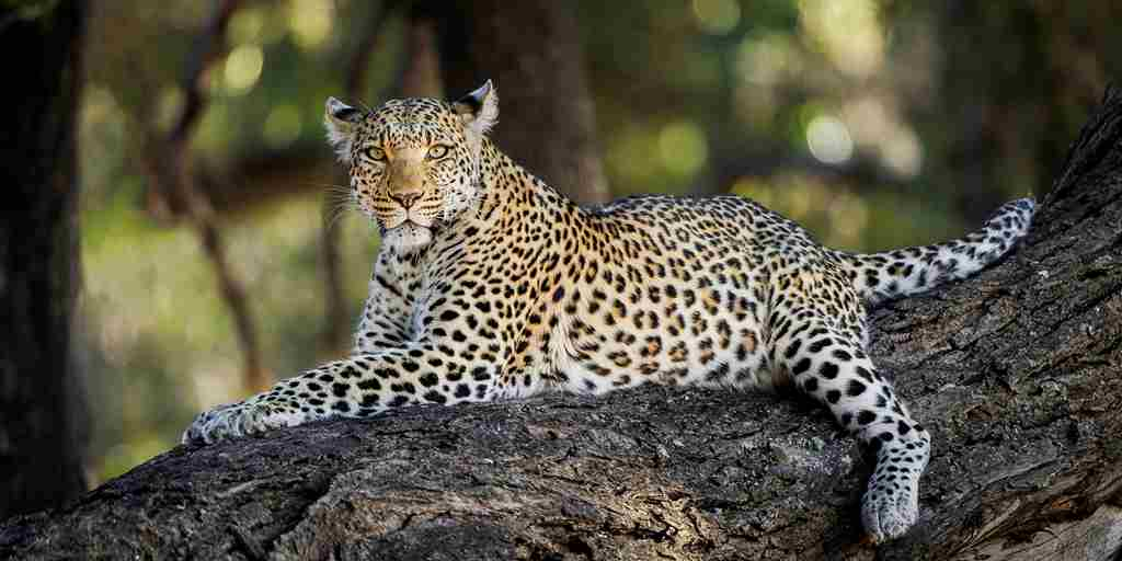 leopard-big-five-mombo-camp-botswana-yellow-zebra-safaris.jpg