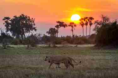 lion-sunset-widlife-mombo-camp-botswana-yellow-zebra-safaris.jpg
