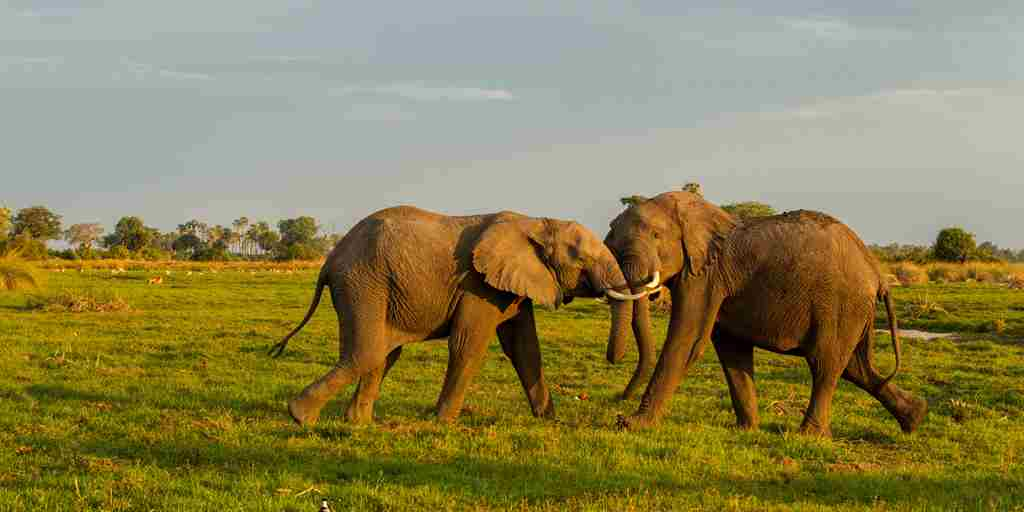 elephants-wildlife-mombo-camp-botswana-yellow-zebra-safaris.jpg