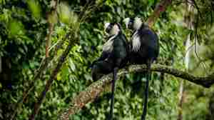 Colobus Monkey Trek