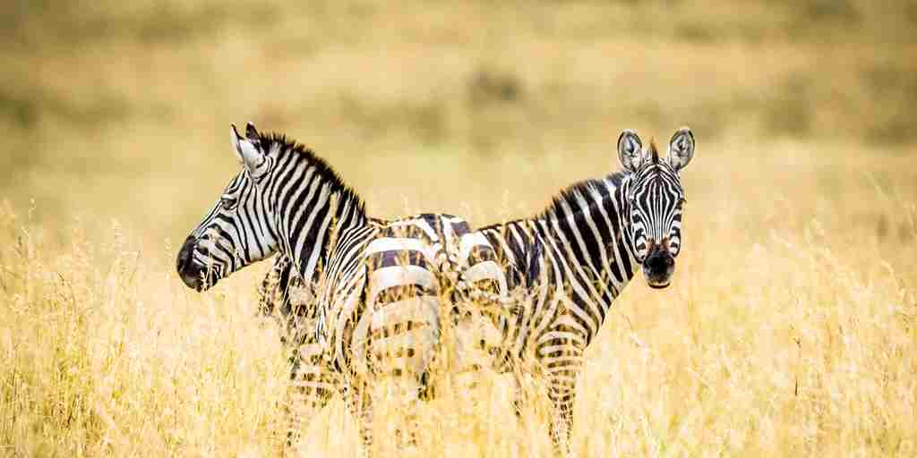 Zebra-game-safari.jpg