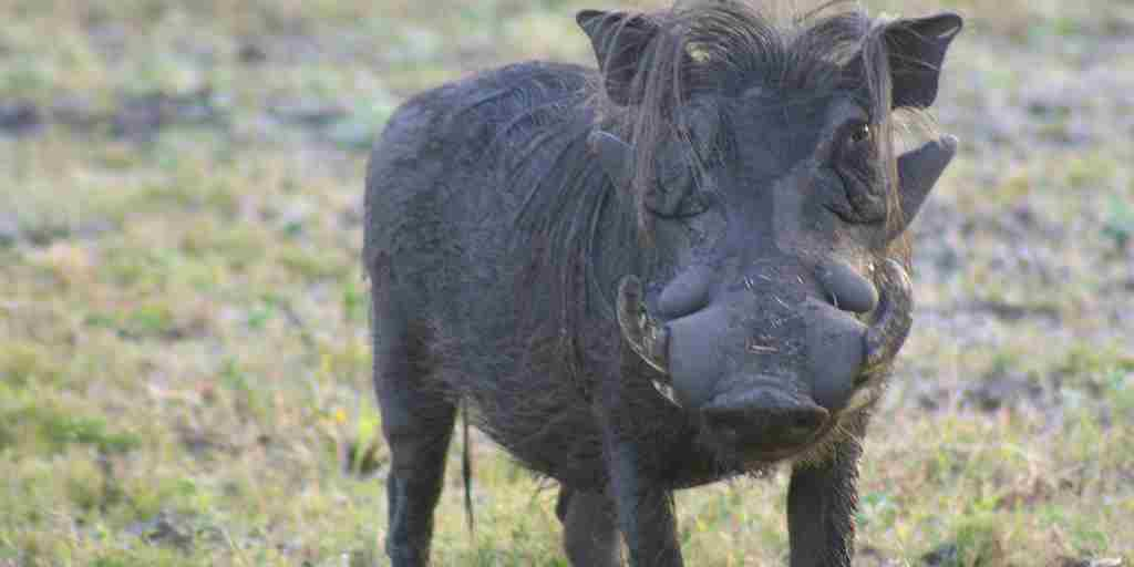 Explore Gorongosa - Gandolf the Warthog (Credit Rob Janisch).jpg