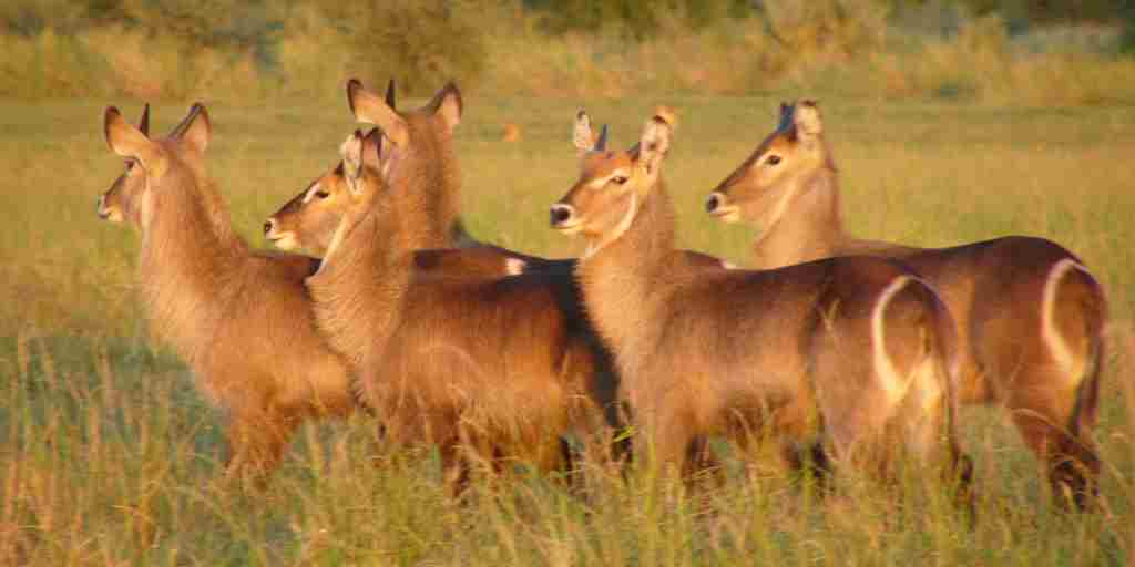 Explore Gorongosa - Waterbuck with Lion Behind (Credit - Greg Reis).JPG