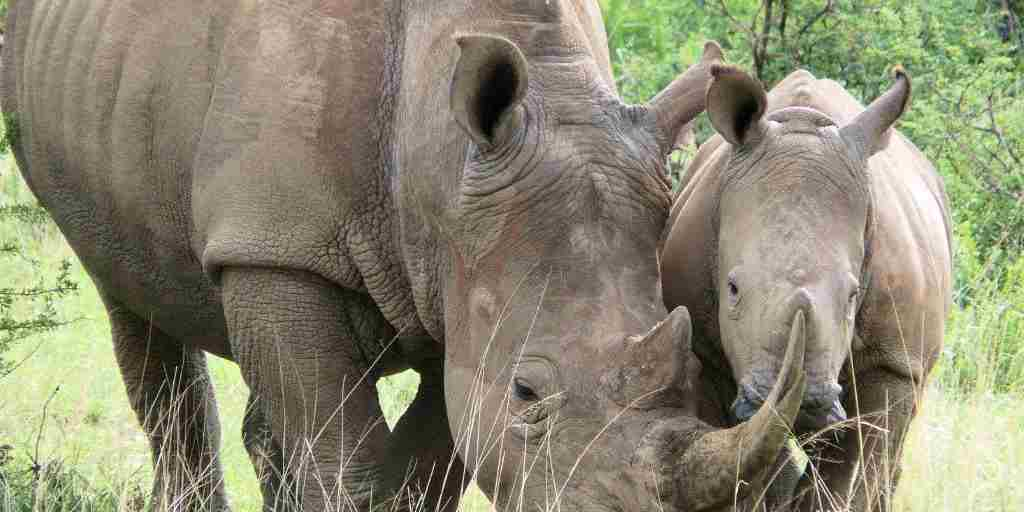 Rhino-baby-with-mother.jpg