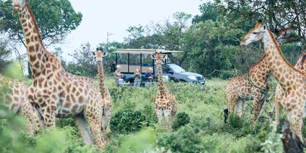 Giraffes-South-africa-game-drive.jpg