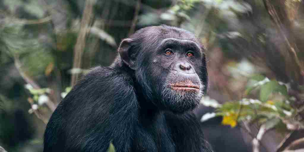 Chimp-Habituation-Project-Rubondo-Island.jpg