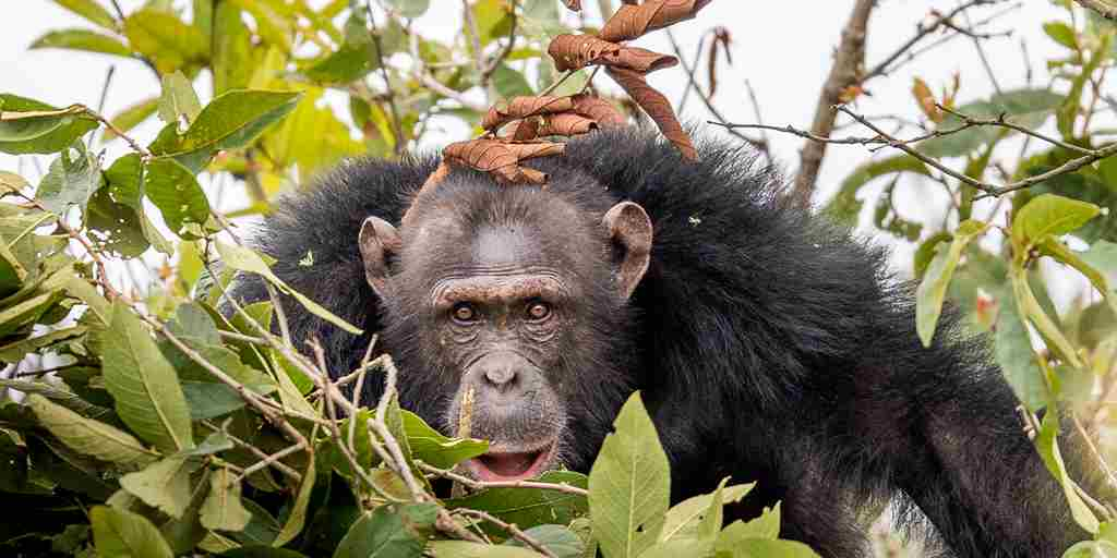 Chimp-habituation-project-Tanzania.jpg