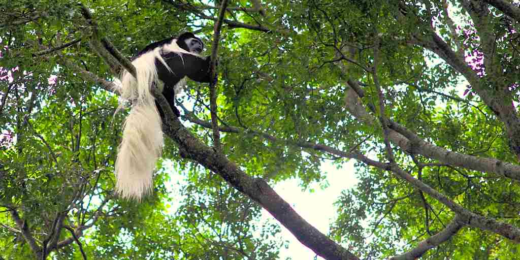 Colobus-monkey-Rubondo-Island-Camp.jpg