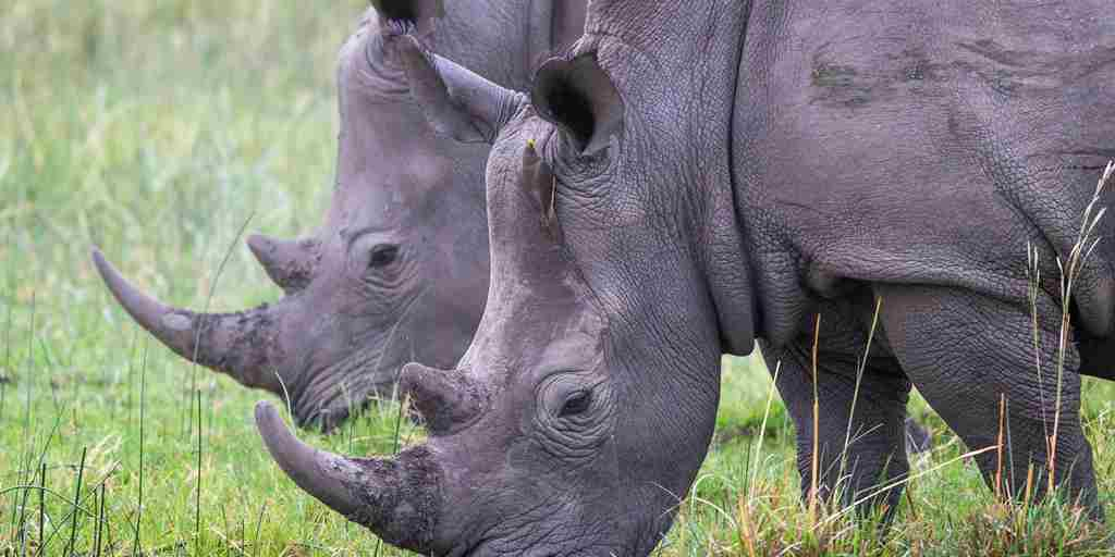 Rhinos Okavango Delta Botswana Wilderness Safaris Yellow Zebra Safaris