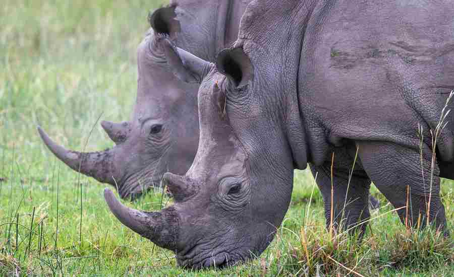 Rhinos-Okavango-Delta-Botswana-Wilderness-Safaris-Yellow-Zebra-Safaris.jpg