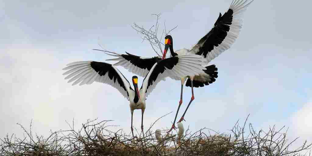 Saddle-billed-stork-Inga-Lim-Yellow-Zebra-Safaris-Client-Blog.jpg