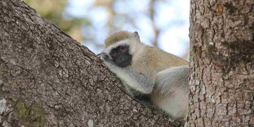 Vervet-Monkey-Inga-Lim-Yellow-Zebra-Safaris-Client-Blog.jpg