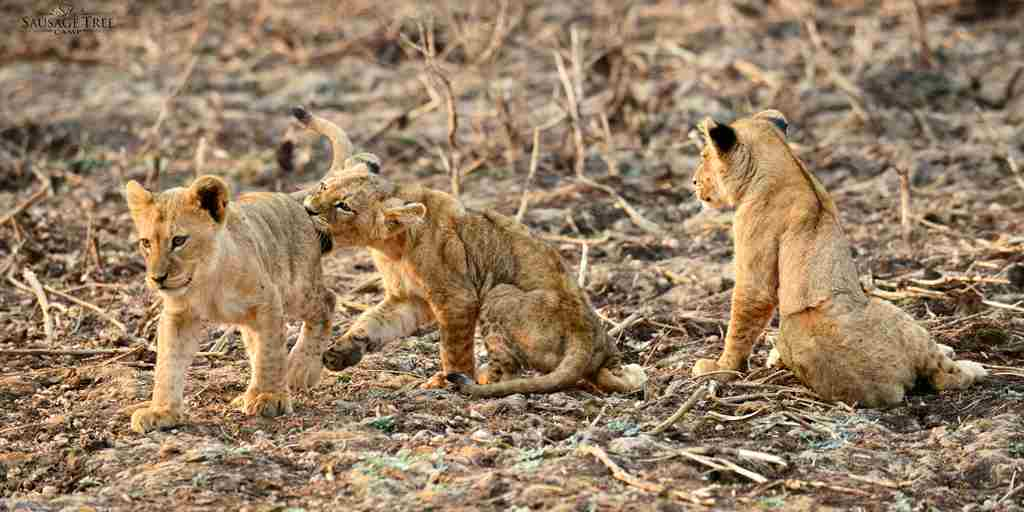 Sausage-Tree-Lion-Cubs-Zambia.jpg