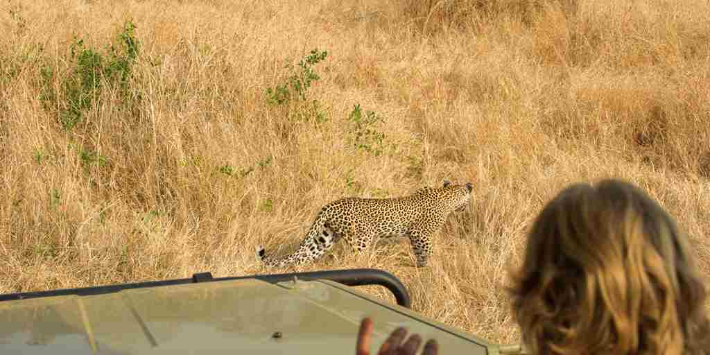 kwihala-camp-asilia-Ruaha-National-Park-Leopard-Guide-Vehicle-Paul-Joynson-Hicks-MR.jpg