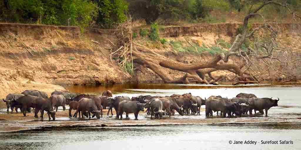 Surefoot Safaris - Buffalo Drinking at Mapazi.jpg