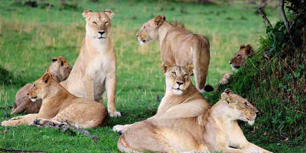 serengeti bushtops lions wildlife tanzania yellow zebra safaris