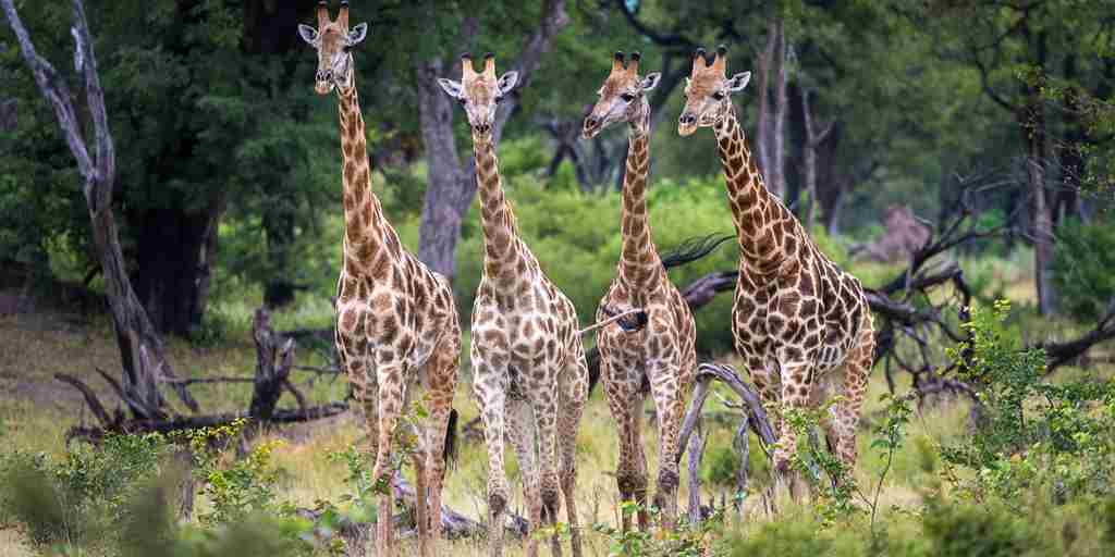 giraffes-kings-pool-botswana-yellow-zebra-safaris.jpg