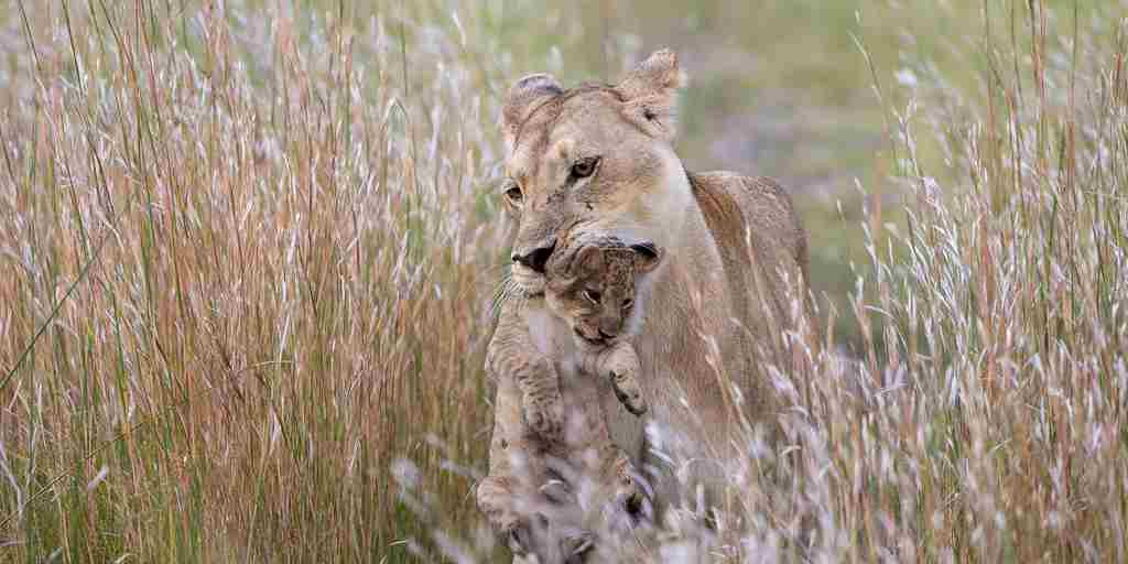 mother child lion kings pool botswana yellow zebra safaris