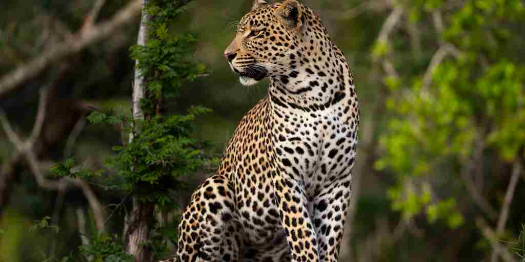 leopard-cheetah-plains-south-africa-yellow-zebra-safaris.jpg