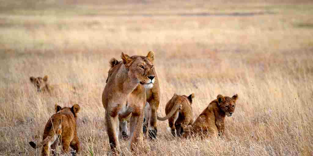 Big-pride-namiri-plains-serengeti-tanzania-yellow-zebra-safaris.jpg