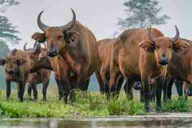 forest-buffalo-odzala-discovery-camps -congo-yellow-zebra-safaris.jpg