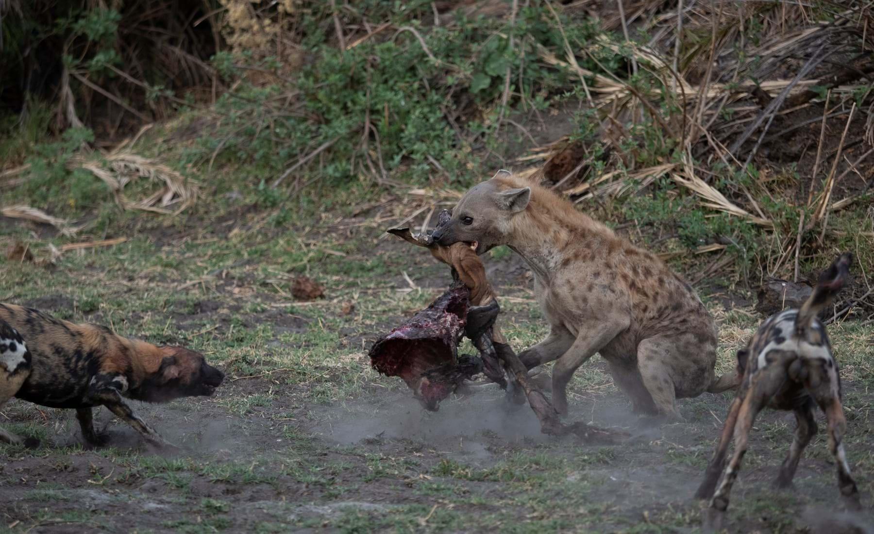 The Battle of Botswana   Safari Trip Review   Yellow Zebra Safaris