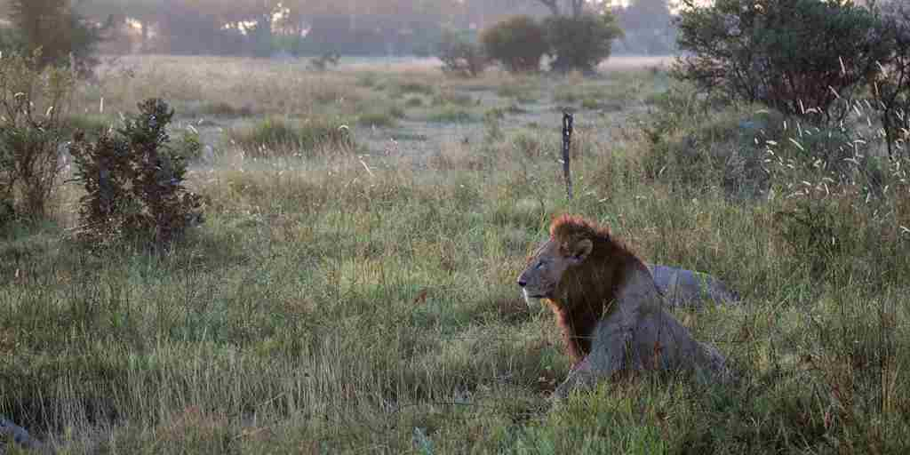 Botswana-Lion-at-Sunrise.jpg
