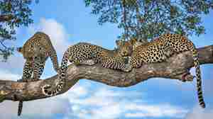 Motswari-Private-Game-Reserve-Leopard.jpg