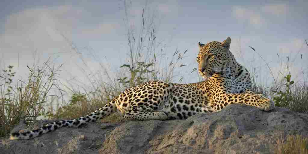 Simbambili-Game-Lodge-Leopard-Game-Drive.jpg
