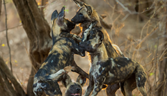 Wild Dogs Zimbabwe Safari
