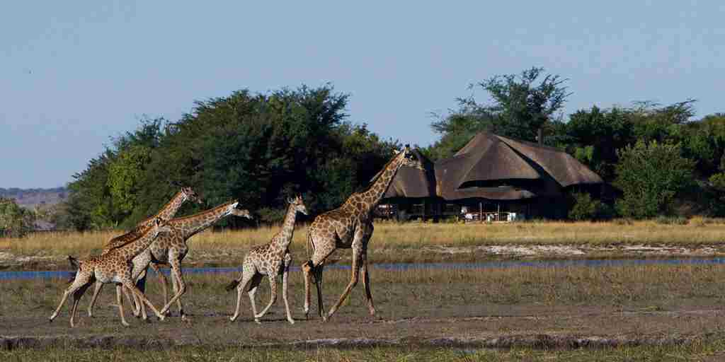 Chobe-Savanna-Lodge-giraffes.jpg