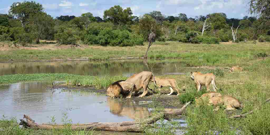 Lions-Drinking-South-Africa.jpg