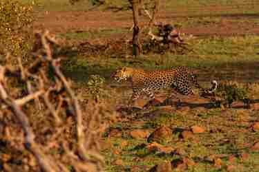 leopard-offbeat-mara-kenya-yellow-zebra-safaris.jpg