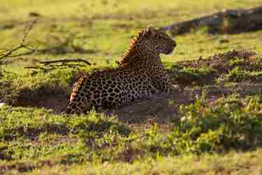 leopard-queen-north-mara-kenya-yellow-zebra-safaris.jpg